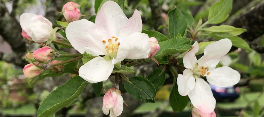 Apple blossoms by ReadPsalm119.com